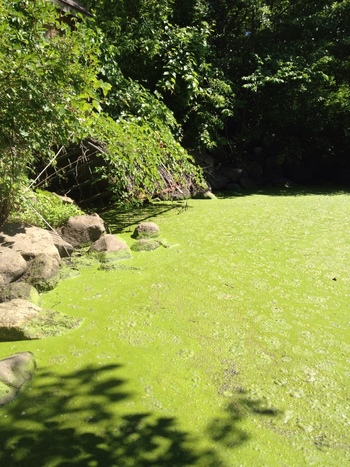 Photo: pond covered with algae