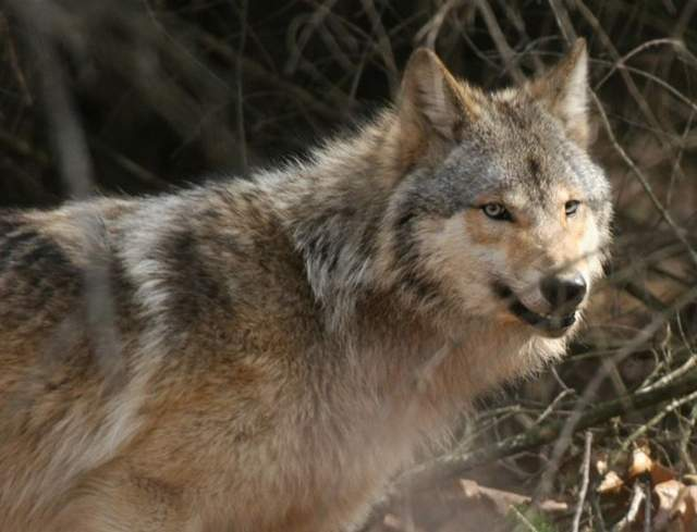 Photo: gray wolf
