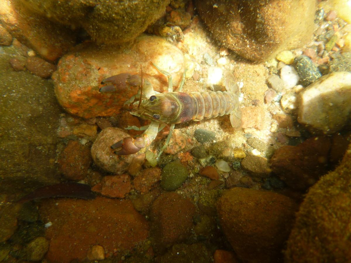 Photo: rusty crayfish
