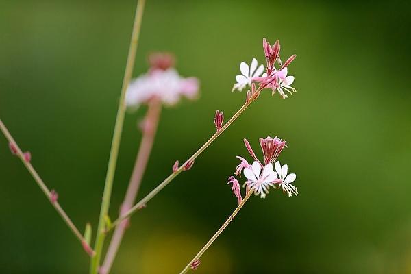 Photo: Guara plant