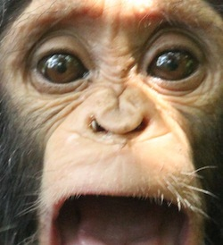 Photo: chimp with tick in nose