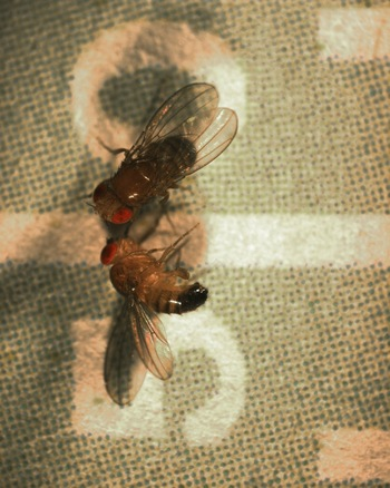 Photo: fruit flies