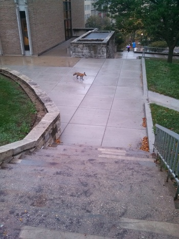 Photo: Fox at Van Hise hall