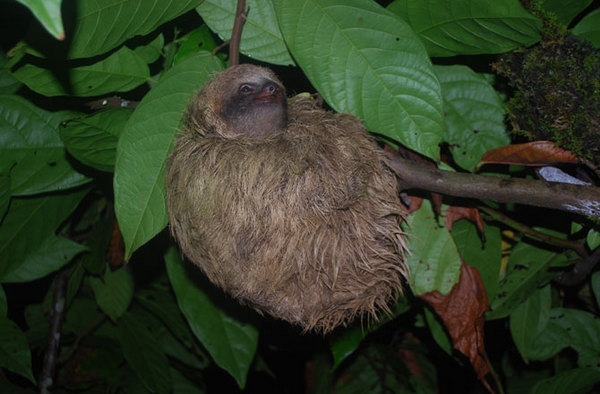Photo: three-toed sloth in tree