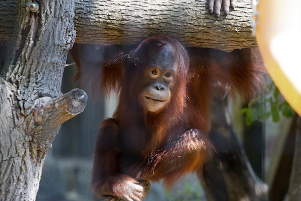 Photo: Mahal the orangutan
