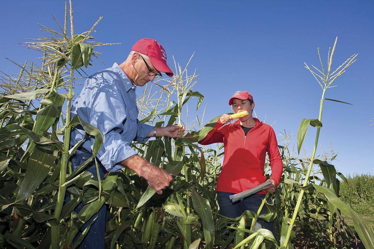 Photo: Professor Bill Tracy and graduate student Adrienne Shelton sample their organic sweet corn