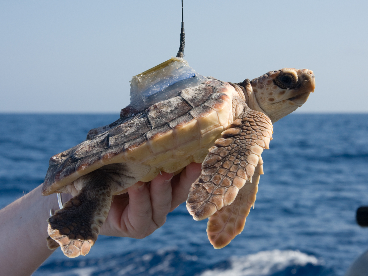 Photo: turtle with transmitter on its shell