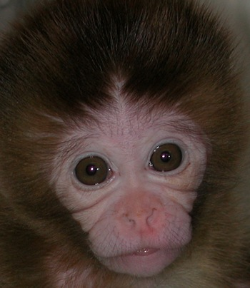 Photo: infant rhesus monkey at the Harlow Center, taken by the Coe Lab.