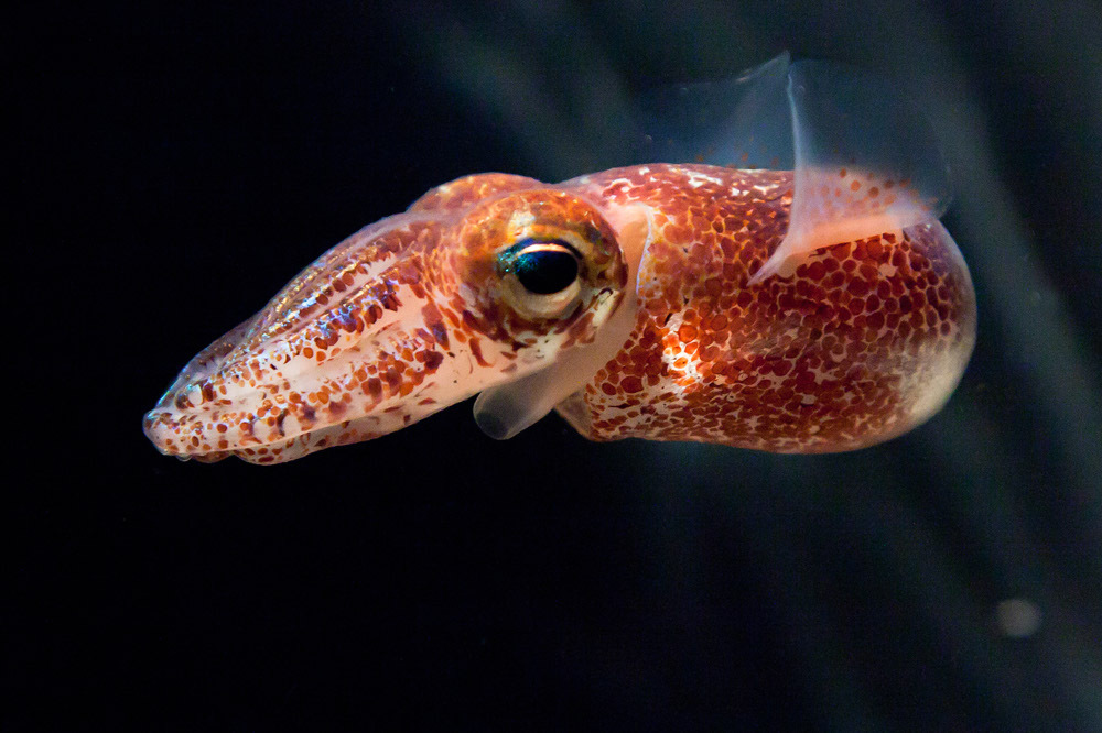 Photo: Hawaiian bobtail squid