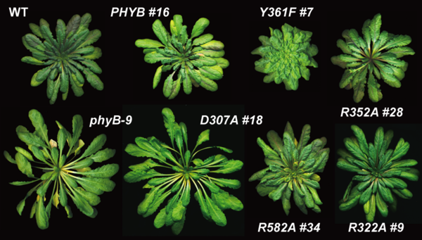 Mature plant phytochrome