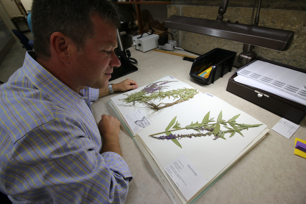 Kenneth Cameron, director of the Wisconsin State Herbarium, examines a dried specimen of purple loosestrife, one of the invasive Great Lakes plants being digitized with support from the National Science Foundation.