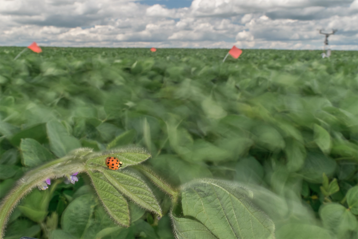 Photo: Asian lady beetle on soybean plant in field