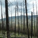 Photo: Lodgepole pine forest