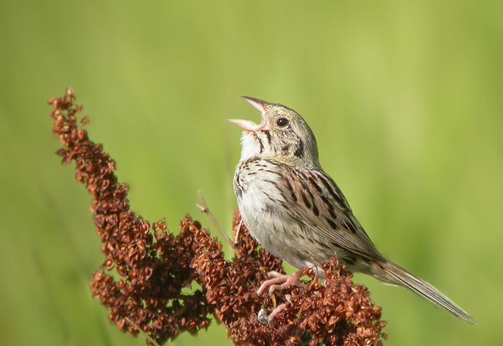 Photo: Henslow's Sparrow