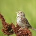Photo: Henslow's Sparrow