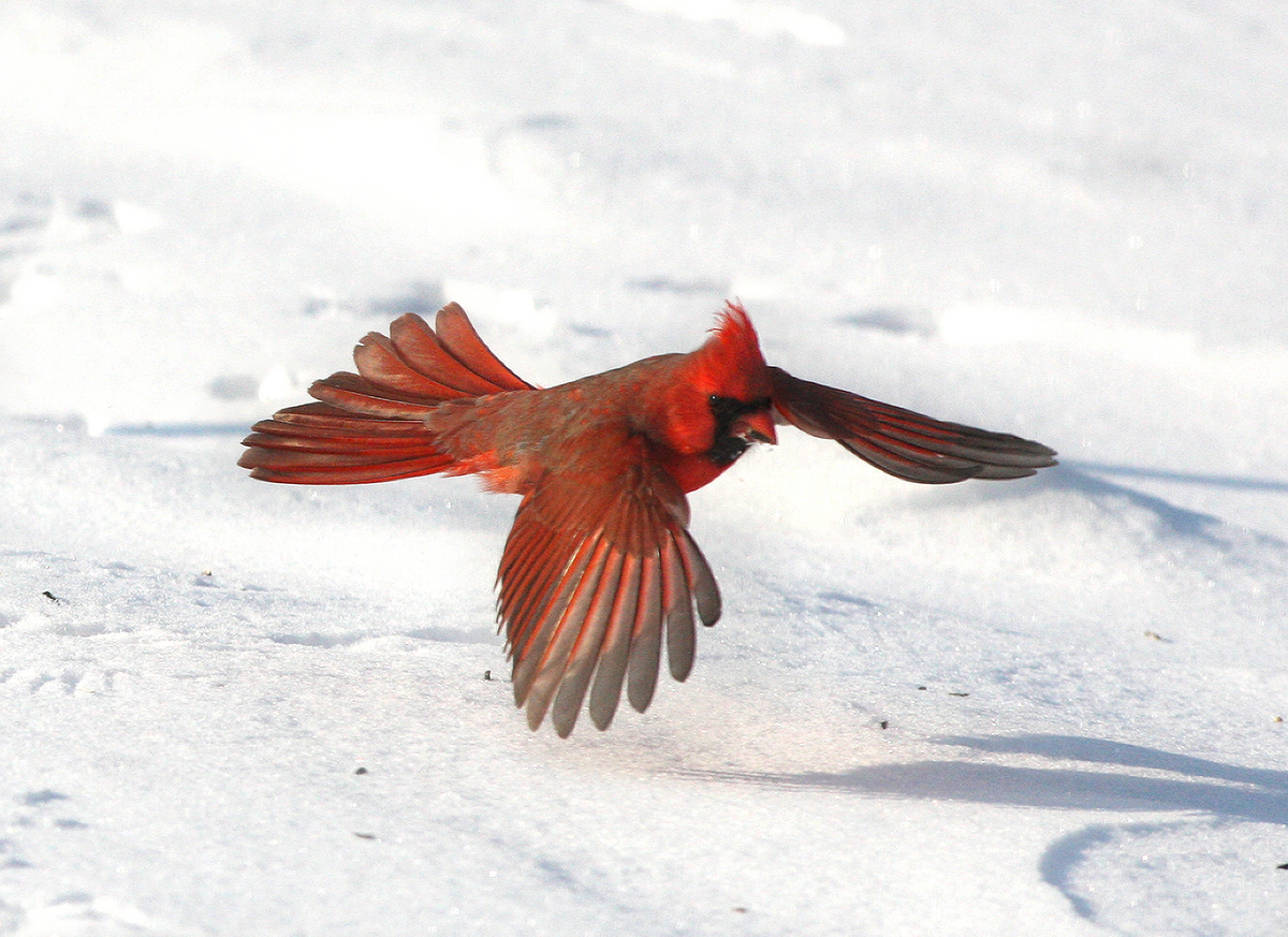 Photo: Northern cardinal