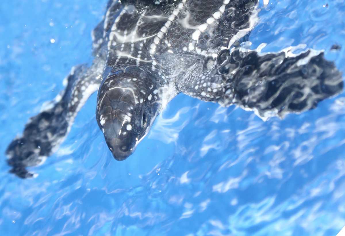 Photo: Swimming leatherback turtle