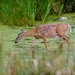 Photo: A deer wades into a stormwater detention pond at Curtis Prairie in the UW Arboretum.