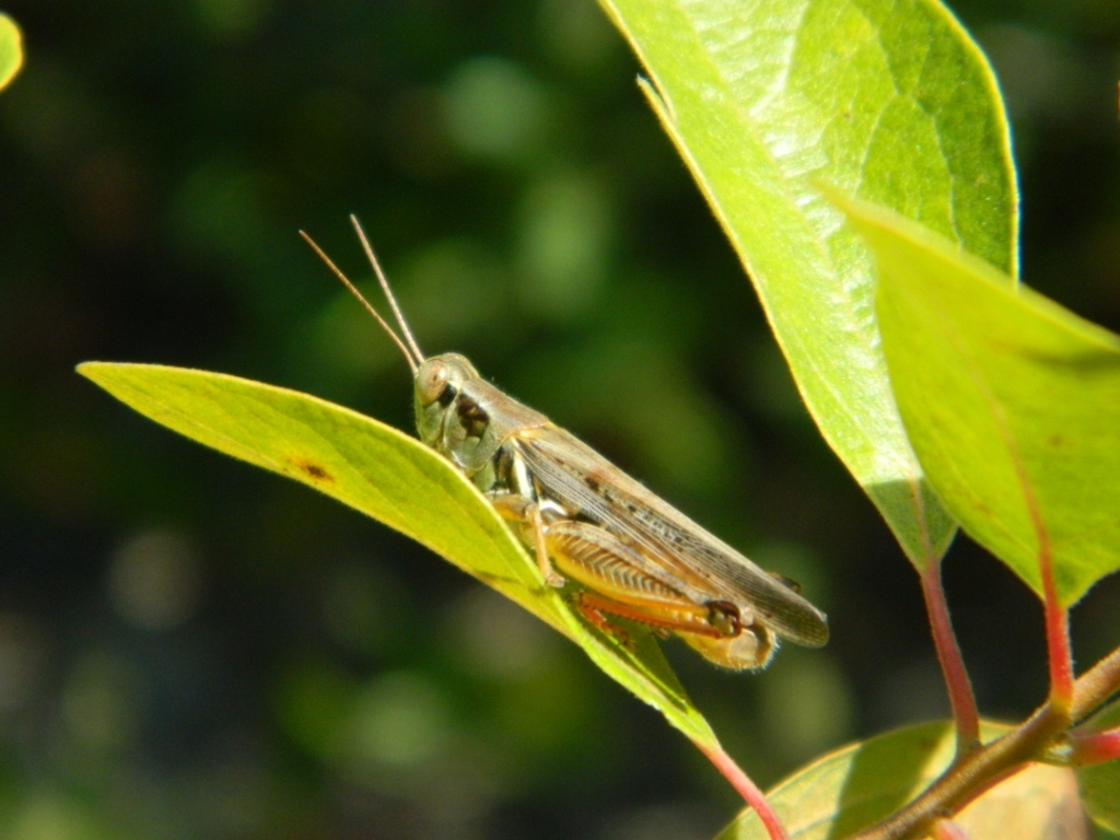 Photo: Melanoplus grasshopper