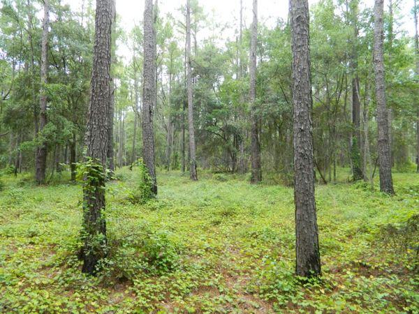Photo: Longleaf pine forest