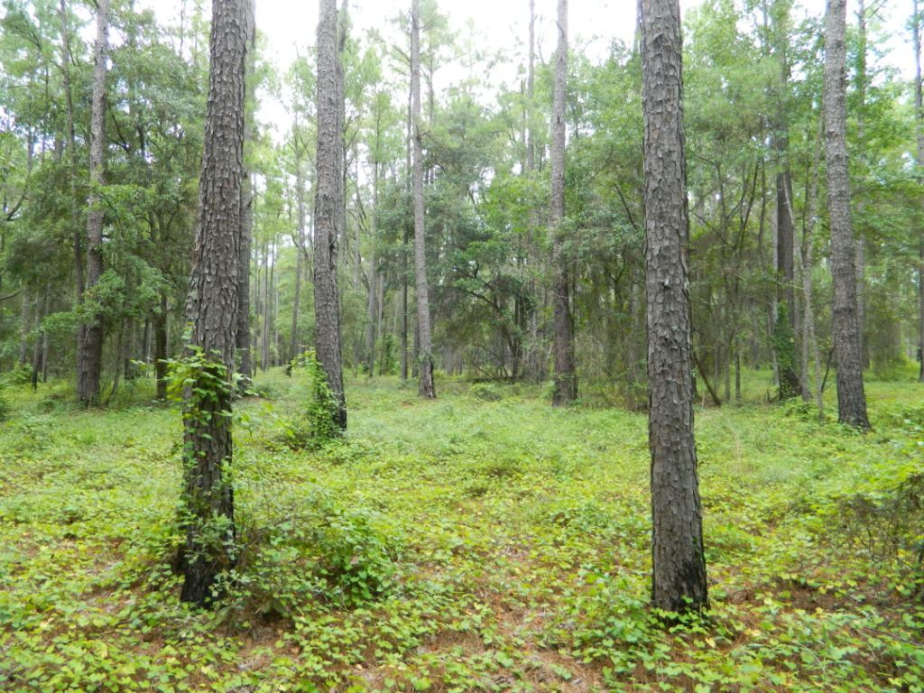 Photo: Longleaf pine forest