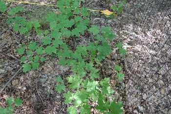 Photo: Maples growing inside exclosure