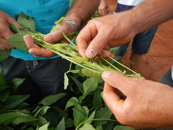 Photo: Brazilian farmers examine their soybean crop