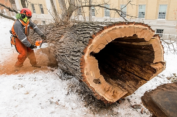Photo: Worker sawing felled tree