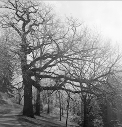 Photo: Historical view of President's Oak