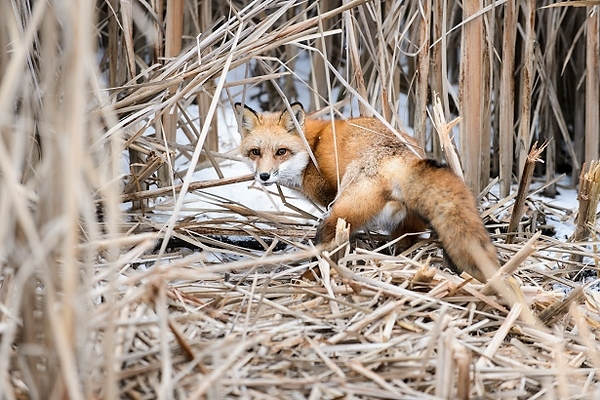 Photo: Young adult fox