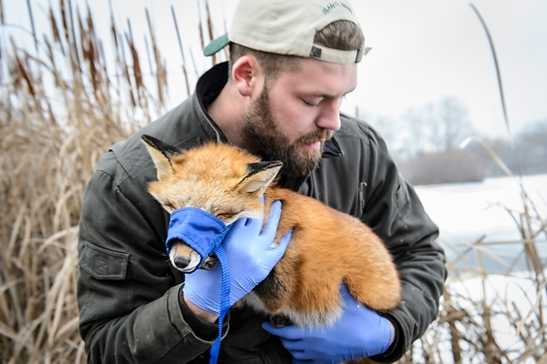 Photo: Relocating a sedated fox